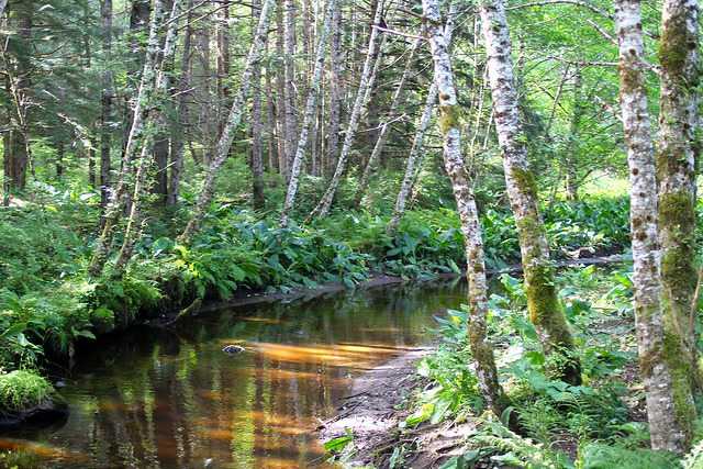 Forest where salmon run in the rivers in Alaska