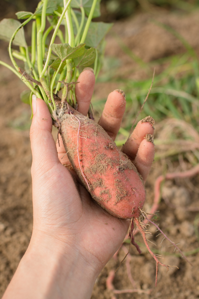 holding a sweet potato with greens attached